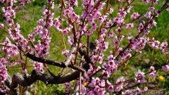Summerland Spring Blossoms