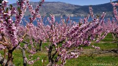 Summerland Spring Blossoms